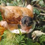 Dschungelcamp 2015 Dschungelprüfung 1 - Aurelio nimmt Schafshoden in den Mund