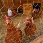 Big Brother 2020 - Sieben Hühner leben im Außenbereich des Blockhauses